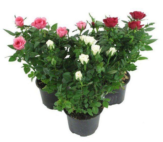 Как ухаживать за розами в домашних условиях? Уход за комнатными домашними розами
