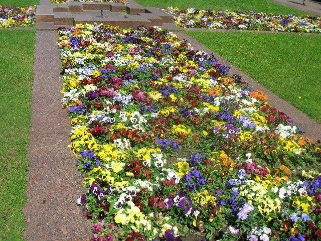 Рассада цветов для газонов