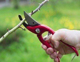 Как ножницы могут сделать виноград вкуснее?
