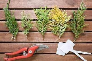 Как вырастить тую из семян: пошаговая инструкция