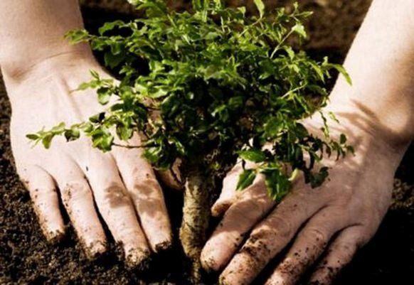 какие деревья садить