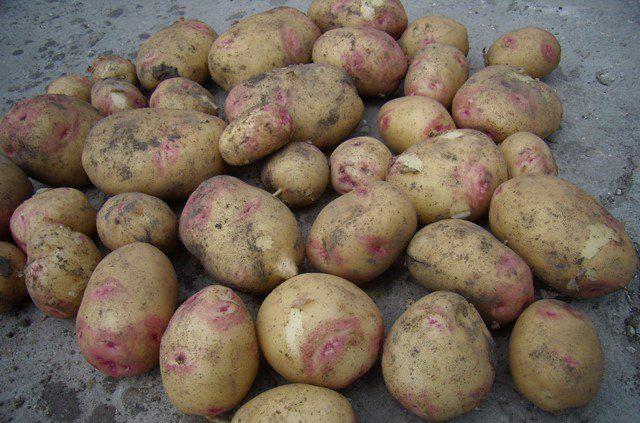 Фиолетовый картофель - сорта с фото и описанием. Выращивание и уход