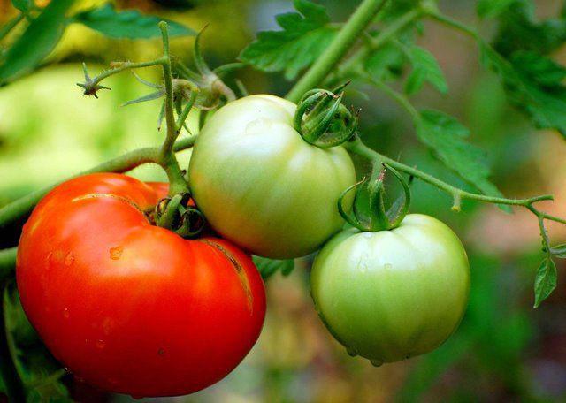 Как лечить помидоры от фитофторы?